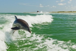 a-dolphin-is-pictured-in-the-gulf-of-mexico.jpg